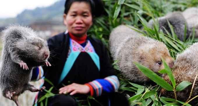 Китайцы разводили бамбуковых крыс для «питательного мяса» до запрета из-за коронавируса