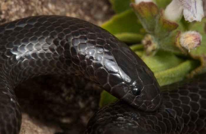 Шпильковая змея: опасный «вампир» и рекордсмен по размеру клыков среди змей
