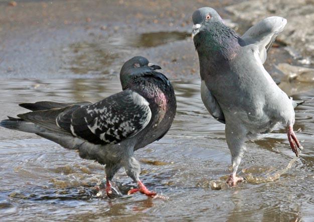 В любви все средства хороши: подборка животных, которые изо всех сил пытаются привлечь внимание противоположного пола