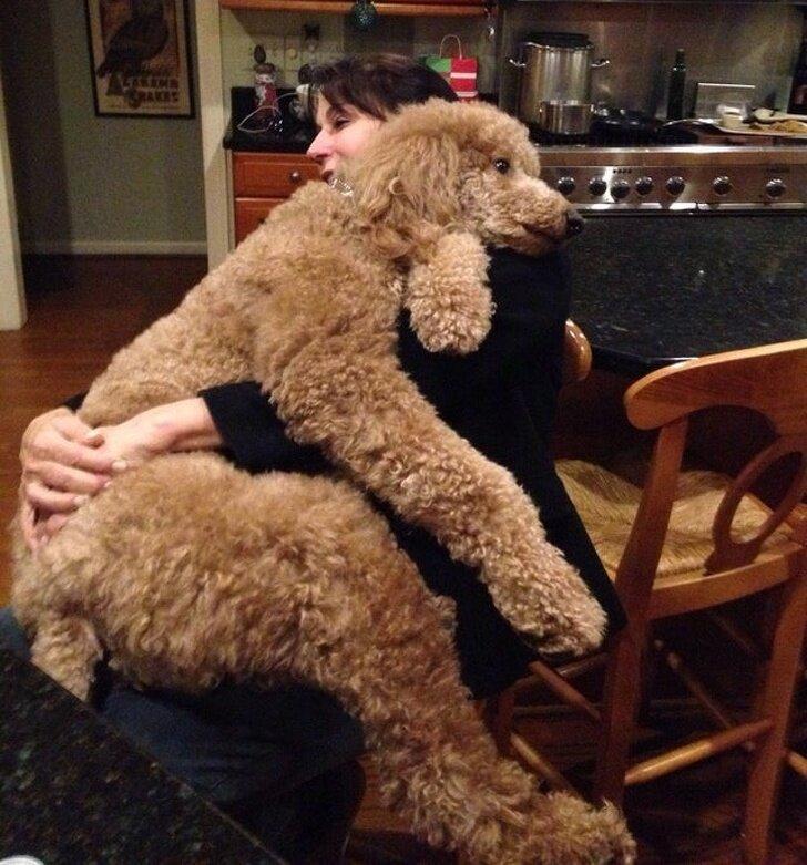 Большие собаки, которые любят «посидеть на ручках»