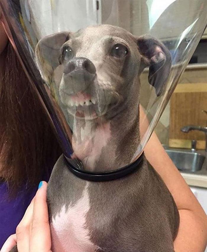 «Снимите эту штуку»: подборка забавных фото животных в ветеринарных воротниках