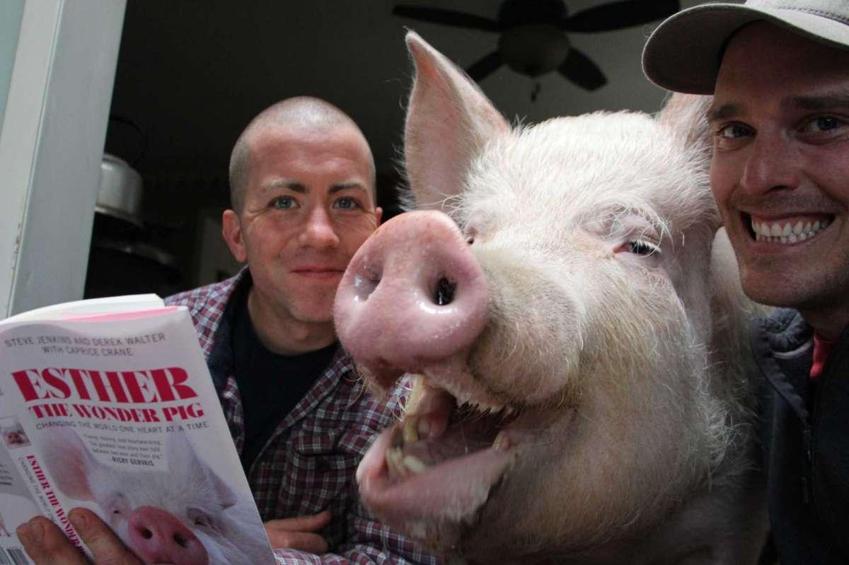 Прикольные домашние свинки