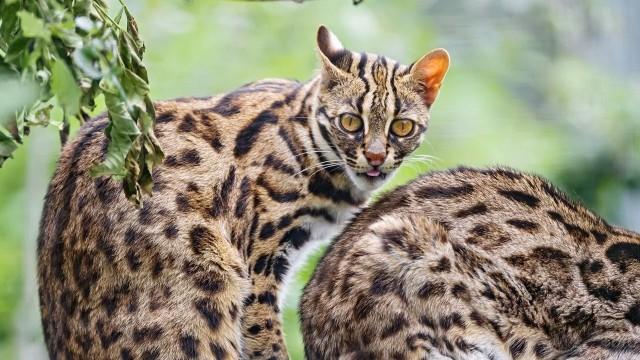 Бенгальская кошка: Порода, созданная из современных джунглиевых убийц