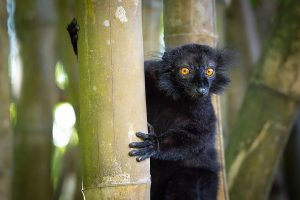 Мадагаскарский чёрт