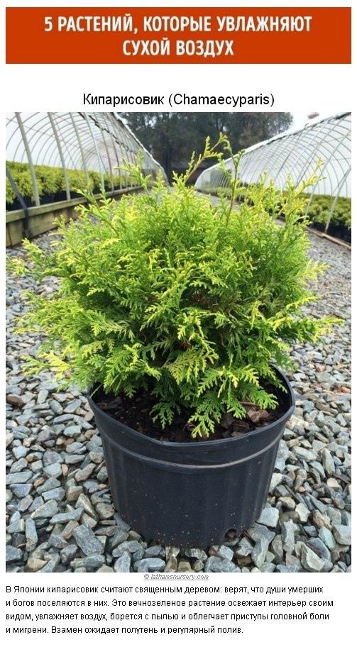 5 растений которые увлажняют сухой воздух
