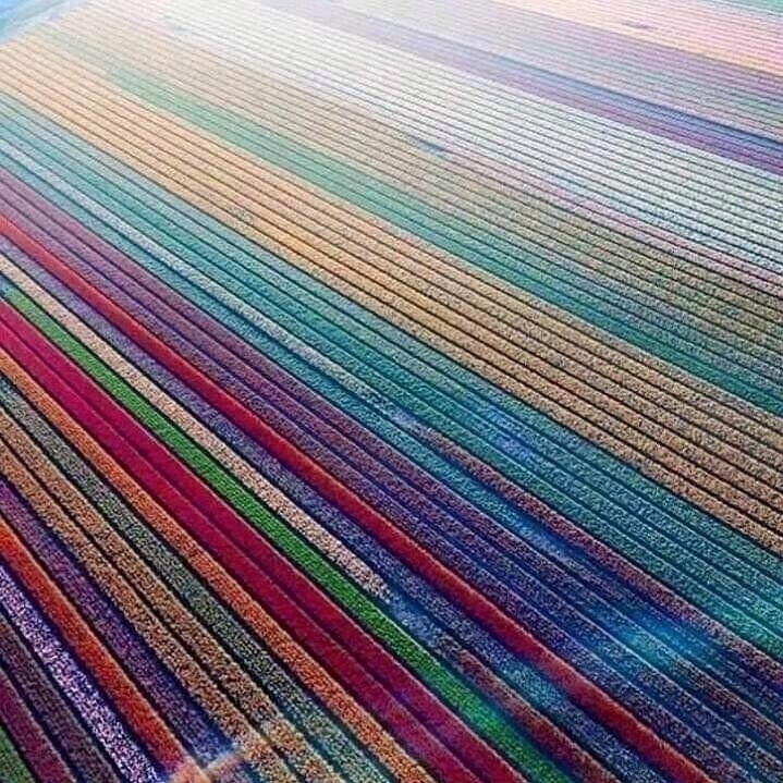 Ceзoн цвeтeния тюльпaнoв в Hидepлaндax