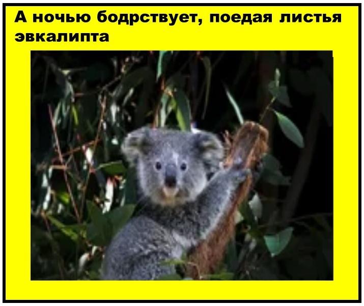 Назвали сумчатого животного словом, которое означает в переводе с австралийского»не пьет»