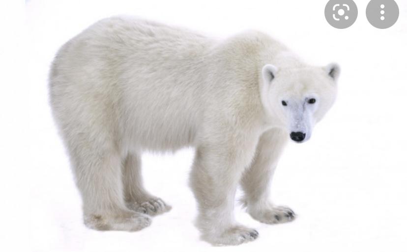 Интересный факт о белых медведях