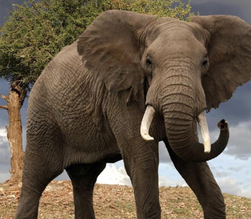 Интересный факт о слонах