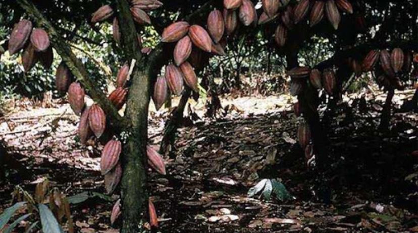 Интересный факт о какао