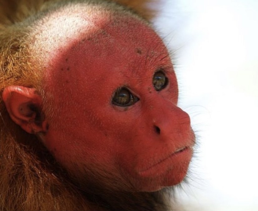 Лысеют со временем не только люди, но и обезьяны