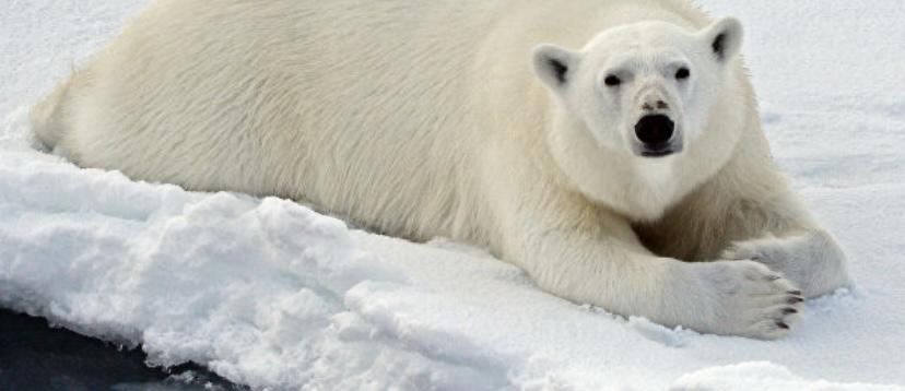 Факт о молодых самок полярных медведей