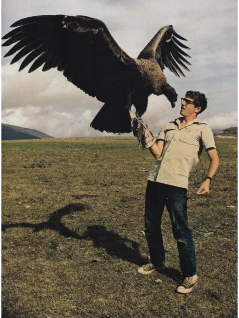 Самая большая птица кондур