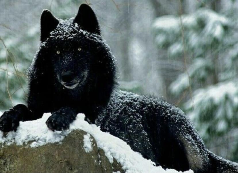А знали, что существуют чёрные волки