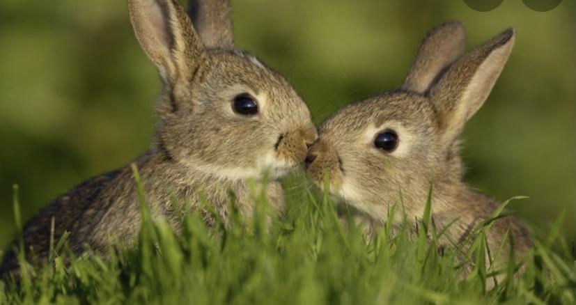 Интересный факт о зубах зайца