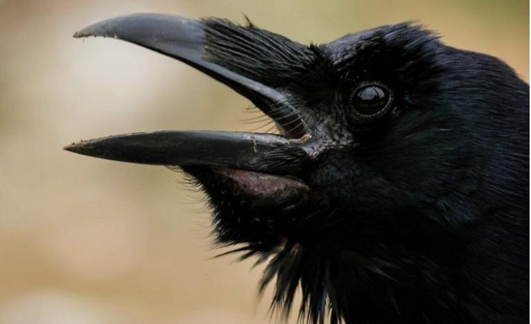 Интересный факт о воронах