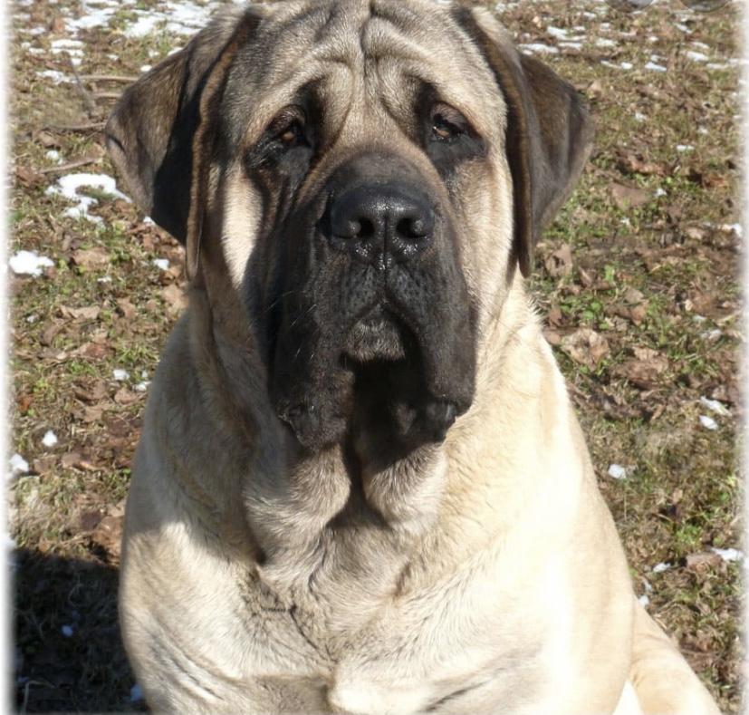 Самая большая собака