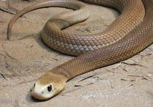 Тайпан самая опасная змея