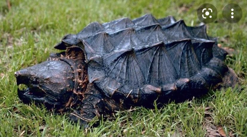 Грифовая черепаха самая опасная