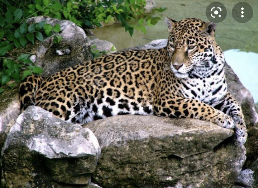 Леопарды уникальные животные
