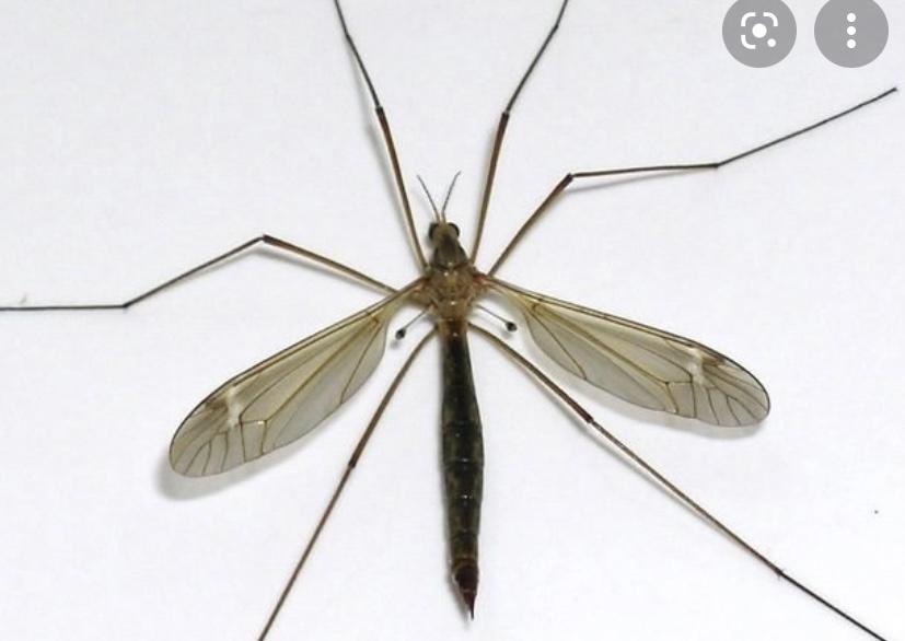 Самки комара кровососы