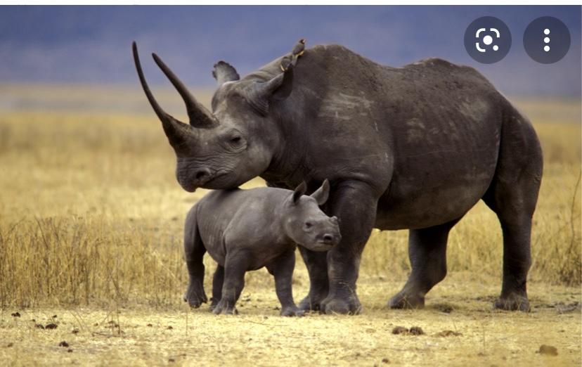 Интересный факт о носорогах