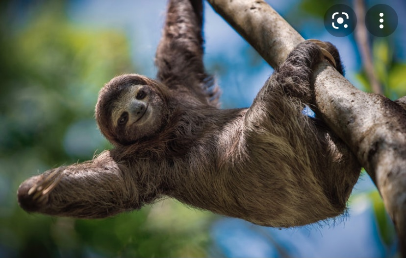 Ленивцы такие милые