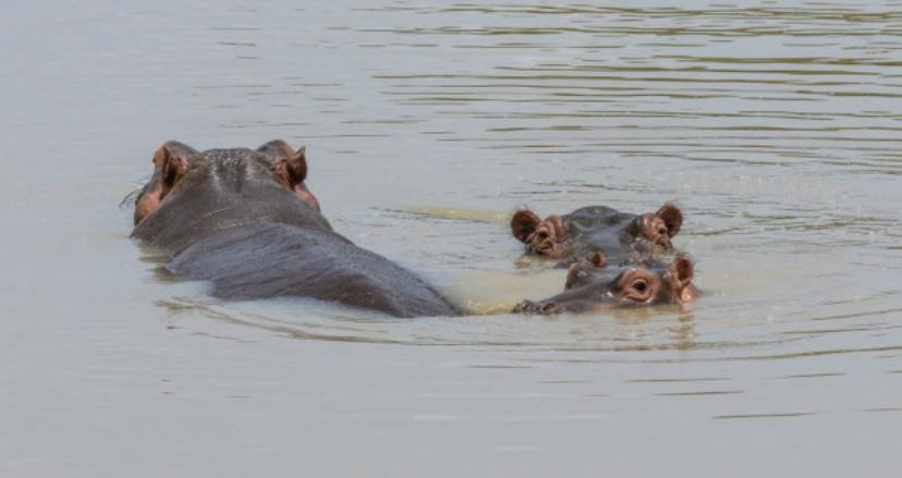 Бегемоты любят спать в воде