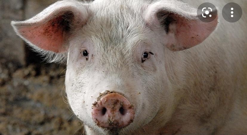 Интересный факт о свиньях