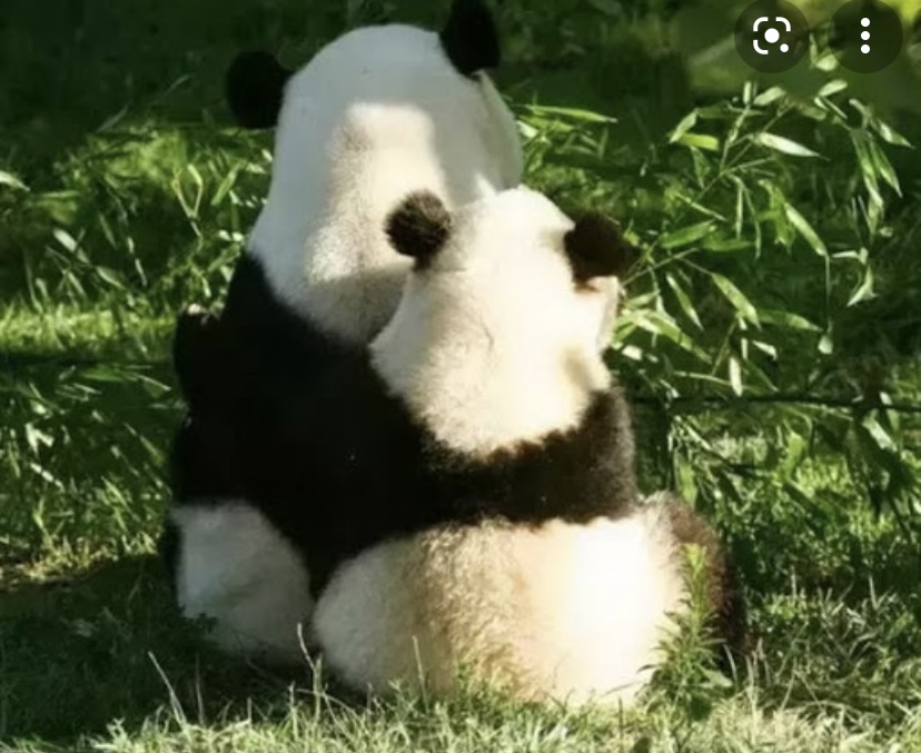 Всеми любимые панды