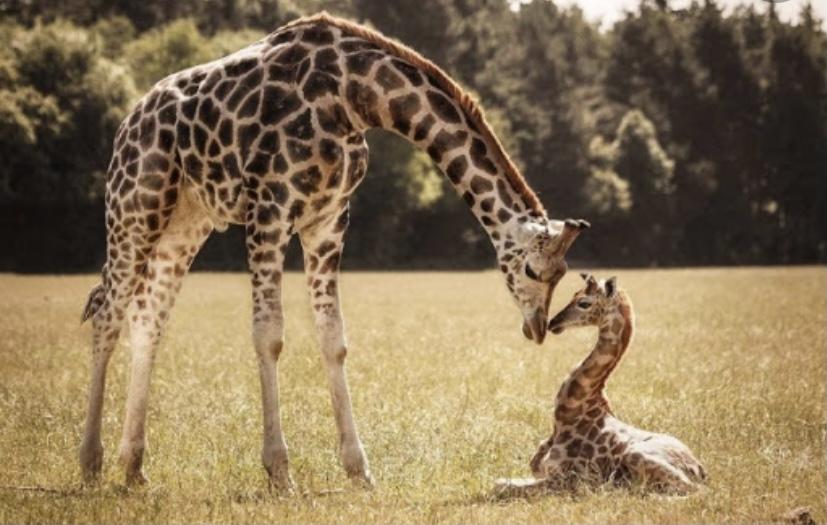 Жирафы не когда не зевают