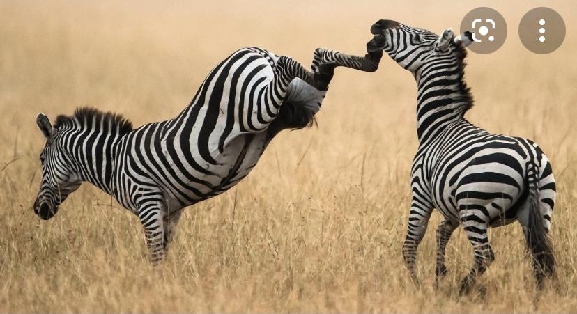 Зебры родственники лошадей и ослов
