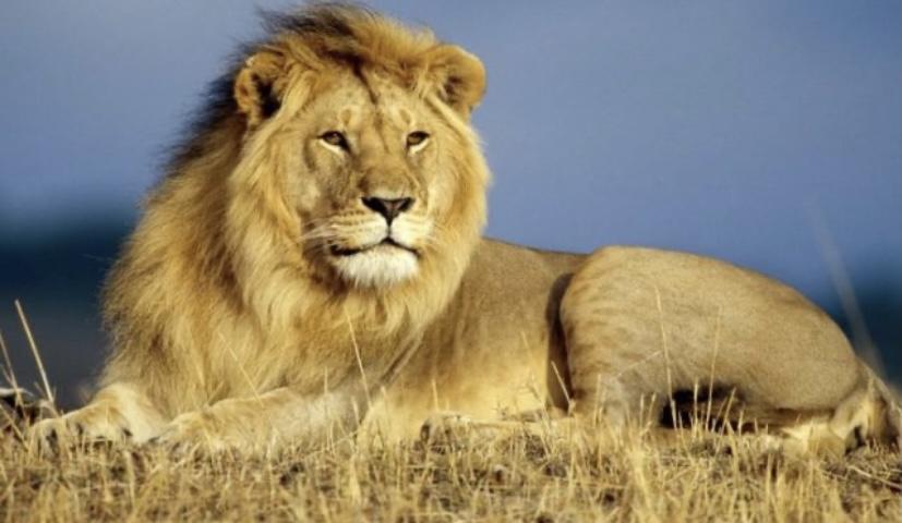 Львы любят отдохнуть