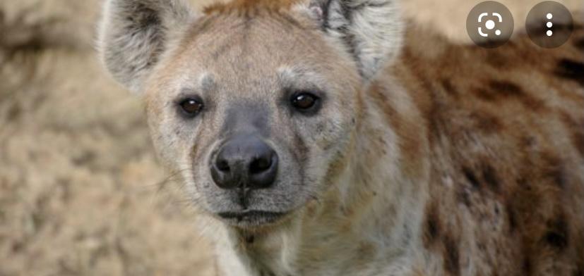 Интересный факт о гиенах