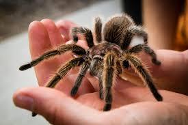 Эта милашка- Апулийский тарантул