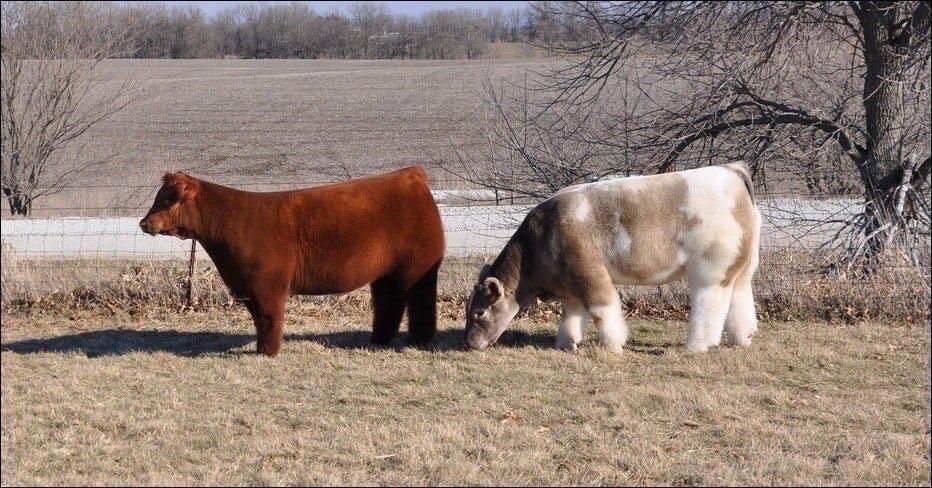 Корова не по назначению