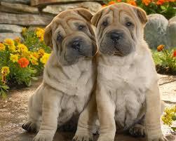 Шарпей- предок всех собак