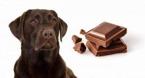Собакам нельзя давать шоколад