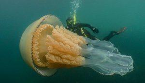 Самая крупная медуза в мире