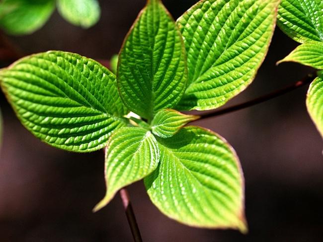 Зачем растениям листья?