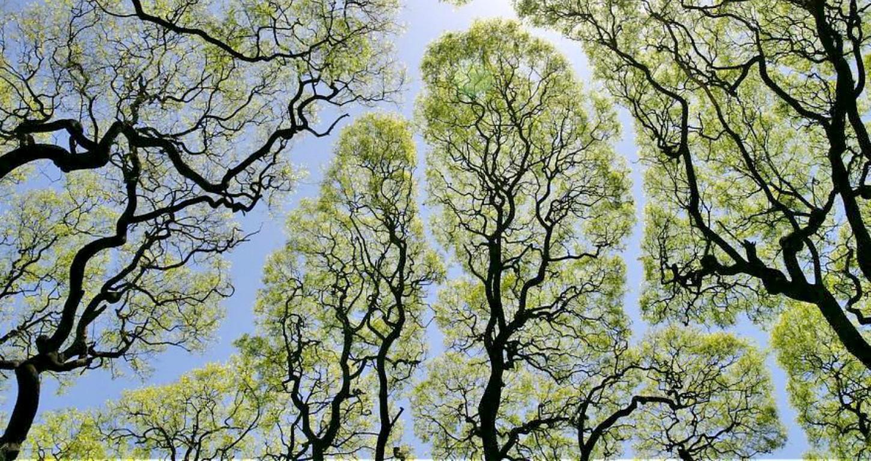 «Застенчивые» кроны деревьев