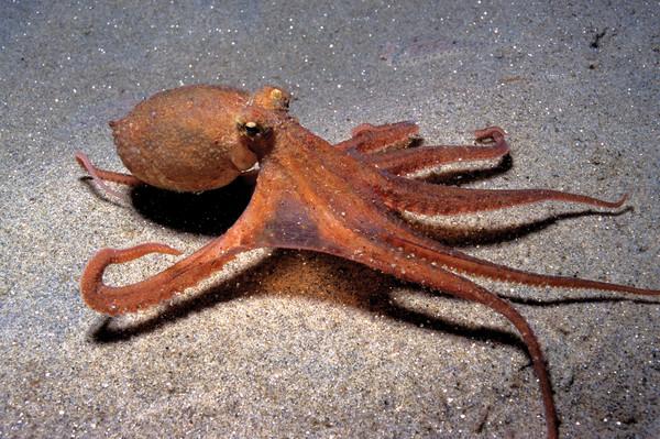 Такие разные осьминоги