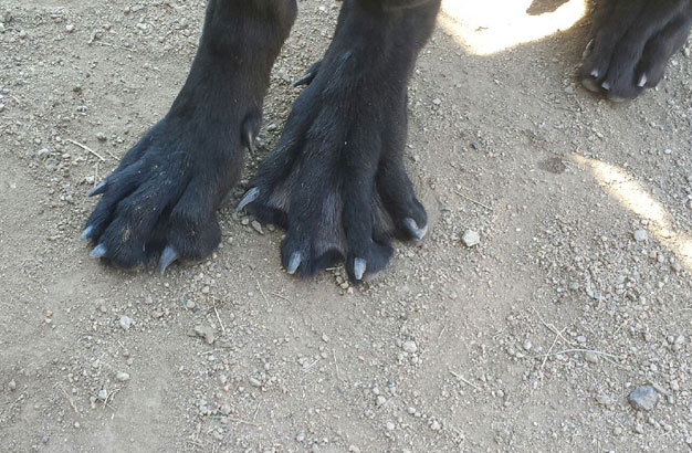 Собаки с перепонками на лапах?