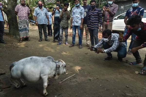 Самая маленькая корова в мире (8 фото)