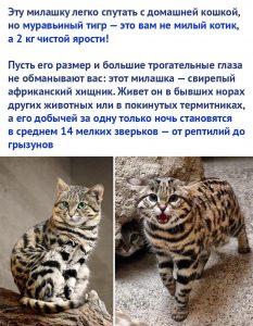 Муравьиный тигр