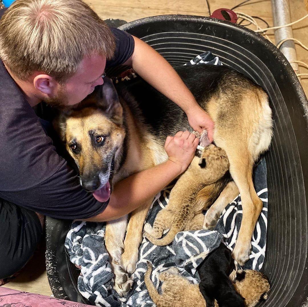 Во Владивостоке собака выкармливает двух брошенных львят