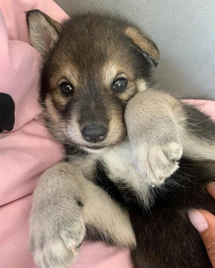 Жительница Уфы взяла к себе маленькую волчицу