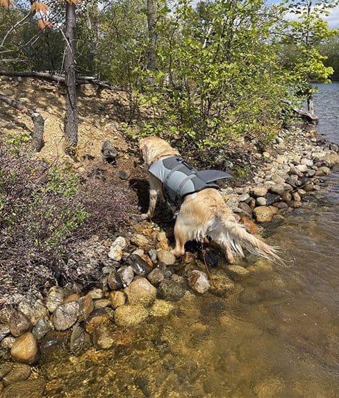 Пёс спас тонущего сурка
